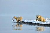 Polar bears in the Arctic National Wildlife Refuge Alaska
