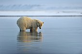 Polar bear in water in the Arctic National Wildlife Refuge