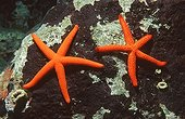 Starfish, Mediterranean Sea / (Hacelia attenuata)