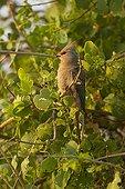 Blue-naped Mousebird on a branch East Tsavo Kenya