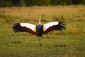 East African Crowned Crane in courtship display Masai Mara