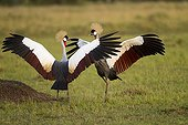 East African Crowned Cranes in courtship display Masai Mara