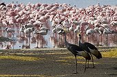 East African Crowned Cranes and Lesser Flamingo Lake Bogoria