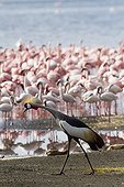 East African Crowned Crane and Lesser Flamingo Lake Bogoria