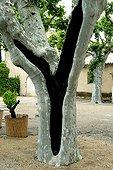 Disease on platanus trunk Val-Joanis Gardens