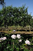 Rose-tree planted close to vines to prevent infection