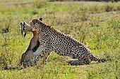 Cheetah stifling a Thomson's Gazelle Masai Mara RN Kenya