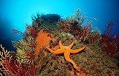 Starfish on coral reef, Mediterranean Sea / (Hacelia attenuata)