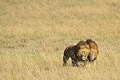 Lions mâles marchant dans la savane RN du Masaï Mara Kenya ; Ils s'appuient l'un sur l'autre