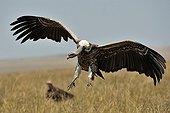 Vautour africain atterrissant dans la RN du Masaï Mara Kenya