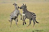 Deux Zèbres de Burchell jouant  RN du Masaï Mara au Kenya