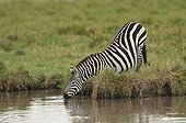 Zebra drinking in the Masai Mara NR Kenya