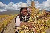 Harvest of organic and fair trade quinoa in Bolivia