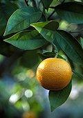 Orange tree in fruit in a garden