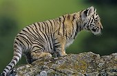 Young tiger on a rock