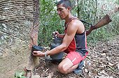 Bleeding from the trunk of Hevea Chico Mendes Extractive Reserve[AT] ; Seringueiros: Rubber tappers of wild