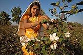 Harvest of cotton in Maharashtra in India
