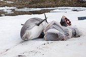 Carcass of white-beaked spinner dolphins Greenland