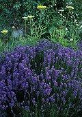 Fine lavender 'Hidecote' in bloom in a garden