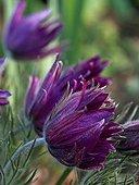 Pasque flower 'Papageno' in bloom in a garden