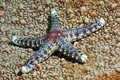Starfish (Fromia nodosa) moves on stone coral, Gangga Island, Bangka Islands, North Sulawesi, Indonesia, Molukka Sea, Pacific, Asia