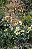 Narcissus in bloom in a garden ; Common dogwood 'Winter Flame'<br>St. John's wort 'Golden Beacon'