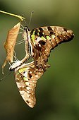 Tailed Jay (Graphium agamemnon), mating