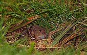 Common Vole (Microtus arvalis) in the grass