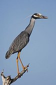 Yellow-crowned Night-Heron (Nyctanassa violacea), adult perched, Willacy County, Rio Grande Valley, Texas, USA