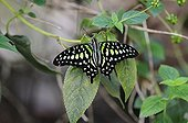Tailed Jay (Graphium agamemnon), butterfly