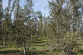 Eucalyptus plantation attacked by the psyllid gum to Morocco