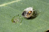 Gum psyllid larvae on a leaf of Eucalyptus Morocco ; It is still in its protective shield. Introduced species in Australia.