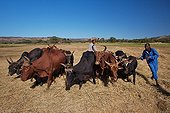 Herd of zebu in Madagascar for pounding rice