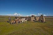 Herd of Alpacas in the reserve Apolobomba Bolivia