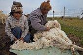 Alpaca shearing of a farmer in Bolivia