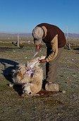 Skinning an alpaca by a breeder in Bolivia
