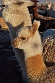 Young Alpaca in the Apolobomba reserve Bolivia