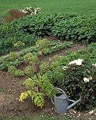 Angelica in bloom in a kitchen garden