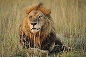 Lion mâle couché au regard attentif Masaï Mara Kenya