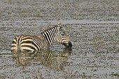 Burchell Zebra eating aquatic plants Kenya