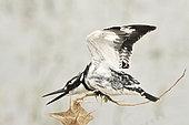 Pied Kingfisher in intimidation posture Amboseli NP Kenya