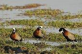 Whistling Ducks making their toilet in a swamp Kenya