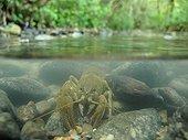 Ecrevisse de torrent dans un ruisseau en Haute-Savoie