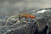Galapagos Lava Lizard (Microlophus albemarlensis), Fernandina Island, Galapagos Islands, UNESCO World Heritage Site, Ecuador