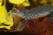 Alpine newt (Triturus alpestris) underwater, male, feeding his own old skin