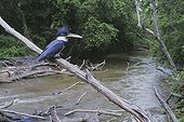 Belted Kingfisher (Megaceryle alcyon), adult with fish prey in stream habitat, Neuse River, Raleigh, Wake County, North Carolina, USA