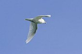 Ivory Gull (Pagophila eburnea) in flight, Spitsbergen, Norway, Europe