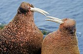 Pacific walruses (Odobenus rosmarus divergens) standing face-to-face threatening each other, Bering Sea, Alaska