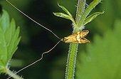 Longhorn Moth (Nemophora degeerella), male