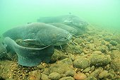 Rassemblement de Silures glanes dans le Rhône France ; Le silure est le plus gros poisson des eaux douces françaises. Certains individus dépassent les 2 mètres 50 et la centaine de kilos.